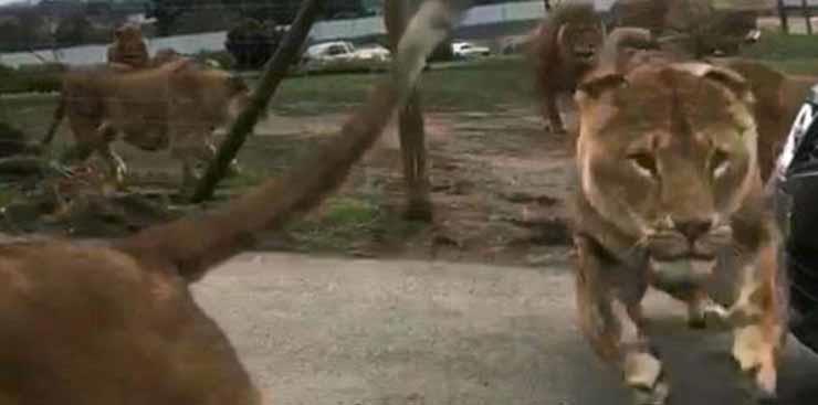 بالفيديو.. أسود بحديقة الحيوان تحاصر أسرة في سيارتها  لمدة تقترب من الساعة