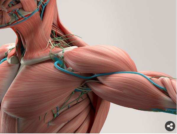 السبانخ يقوي العضلات