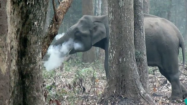 الفيل المدخن في الهند يحيّر الخبراء