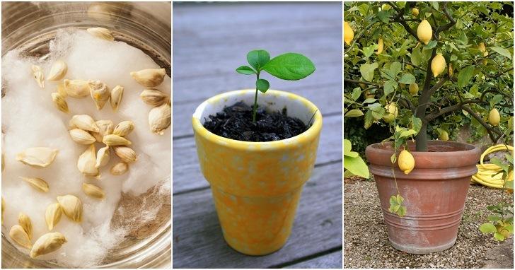 كيفية زراعة الليمون من بذوره في البلكونه