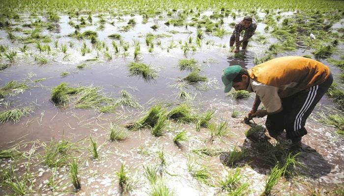ضغوط من أعضاء مجلس النواب على الحكومة لزيادة الأراضي المخصصة لزراعة الأرز