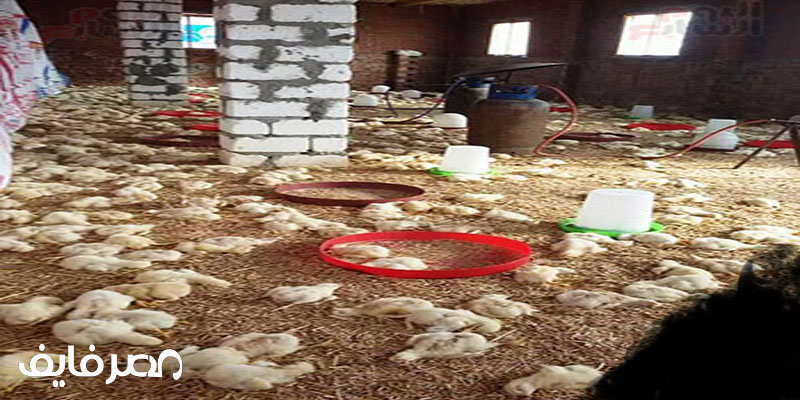 فيروس النيوكاسل يحصد أرواح مزارع دواجن بالمنوفية