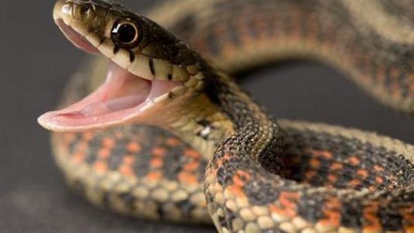 بعد وفاة 3 حالات وإصابة آخرين.. بيان عاجل بشأن انتشار الثعابين في المنوفية