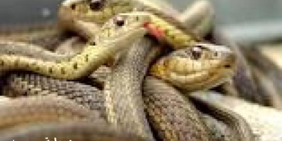 بعد انتشارها في المنوفية ووفاة حالتين.. 4 خطوات تنقذ حياتك من خطر الثعابين