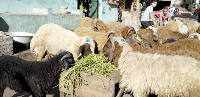 تجار سوق الأغنام بـ«السيدة» ٦٠ جنيه للكيلو ومفيش زباين