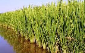 """""""بالتنسق مع وزارة الري"""".. الزراعة تقرر زيادة مساحة زراعة الأرز"""