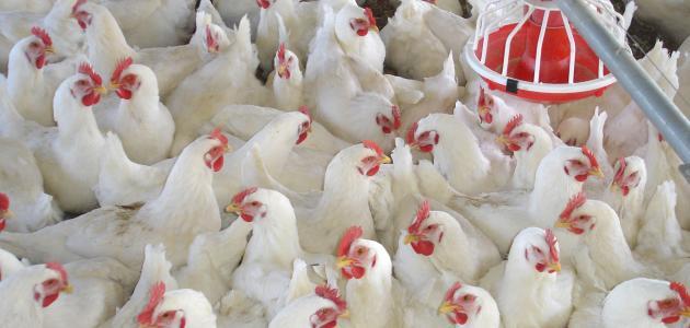 تراجع في أسعار البيض واستقرار أسعار الدواجن