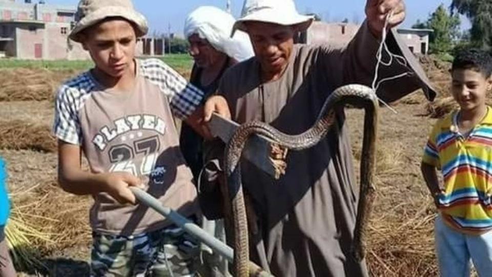 """بعد سقوط أول ضحية.. """"تقتل الأنسجة"""".. لماذا هاجمت الثعابين الفلاحين بالمنوفية؟.. والمحافظة تعلن الطوارئ (صور)"""