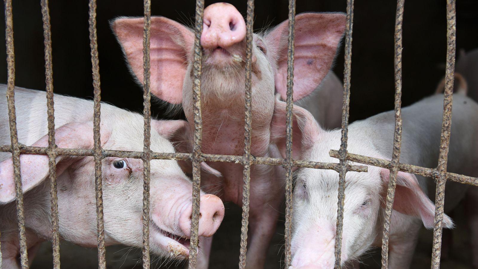 فيروس إنفلونزا الخنازير وتحذيرات الصحة العالمية وإجراءات وقائية لتجنب الإصابة بالفيروس