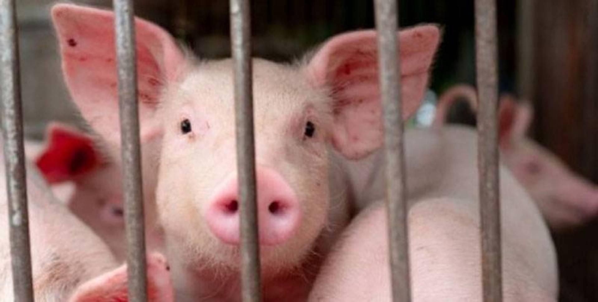 فيروس إنفلونزا الخنازير