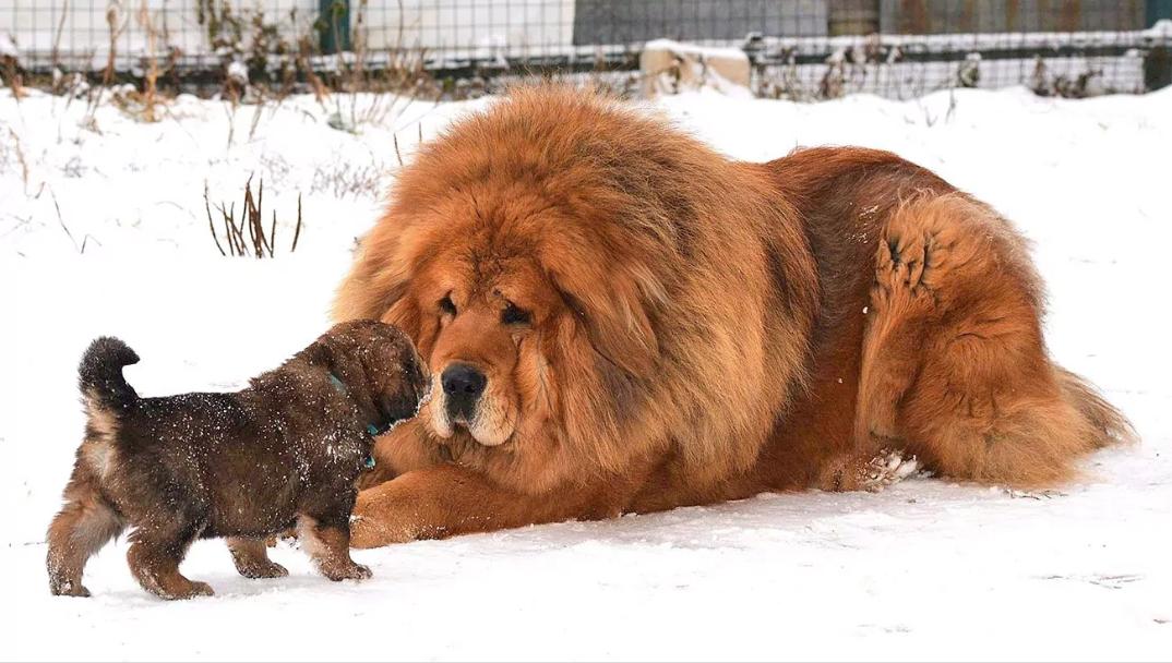 1- فصيلة كلاب التبت ماستيف Tibetian Mastiff بسعر من 7 آلاف إلي 2 مليون يورو