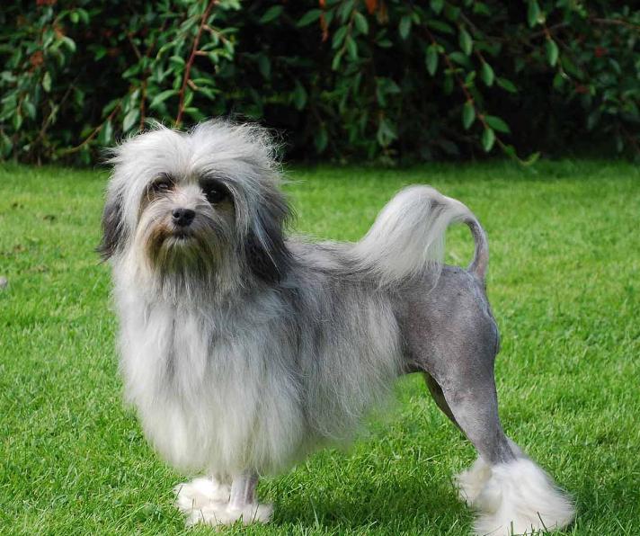 3- فصيلة كلاب Lowchen بسعر من 4.8 إلي 8 ألف دولار