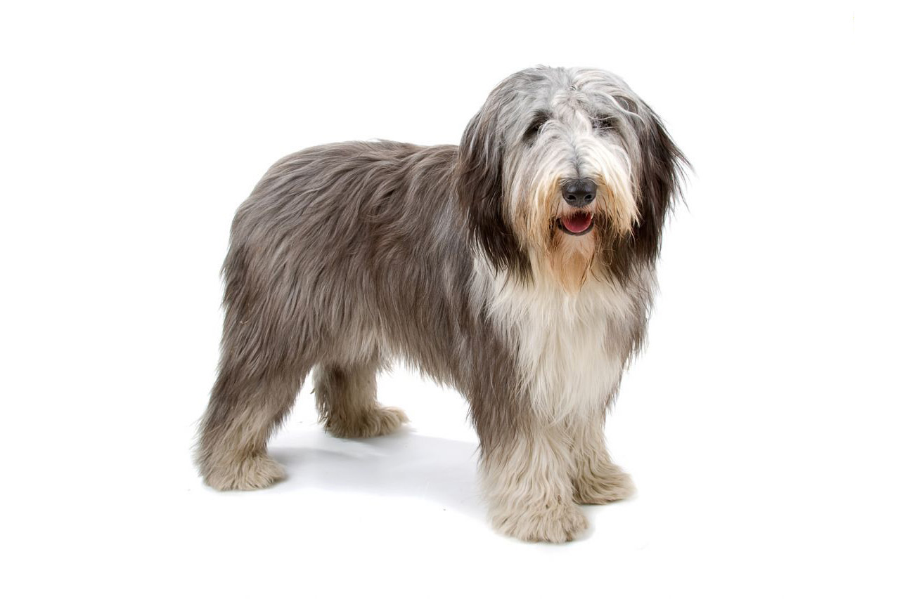 9- فصيلة كلاب Bearded Collie بسعر من 4.5 ألف دولار