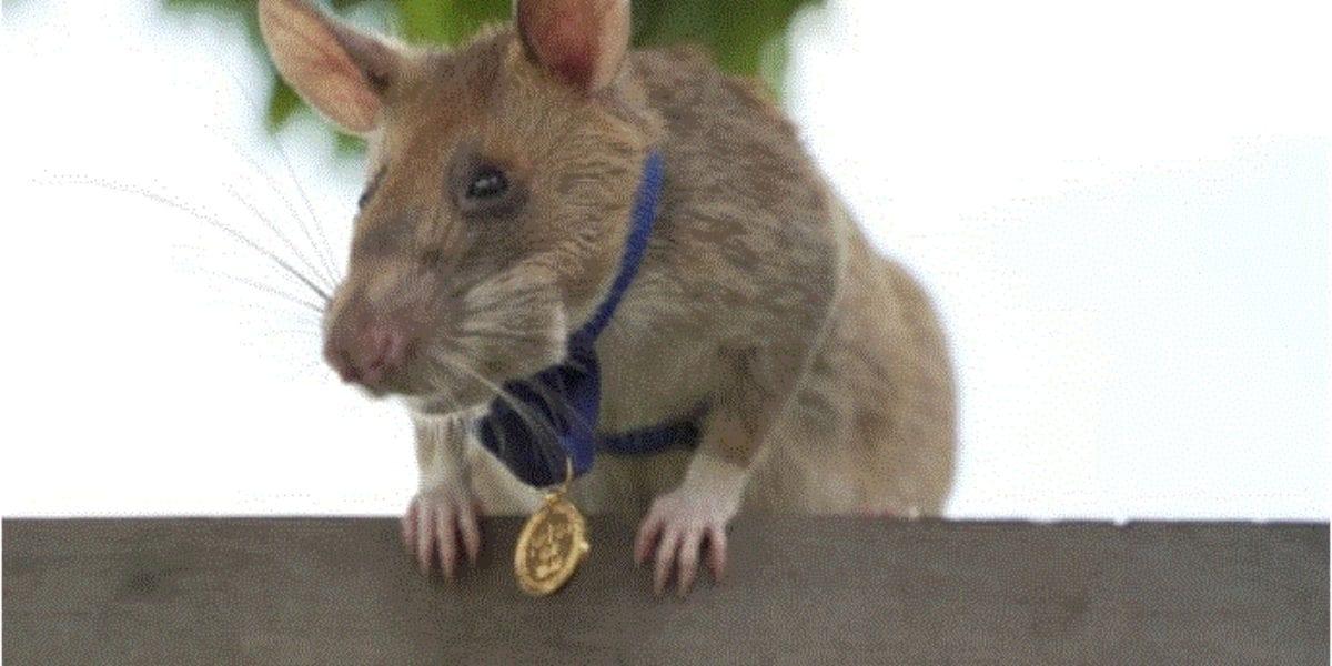 منح فأر إفريقي ميدالية ذهبية في كمبوديا لقيامه بعمل إنساني