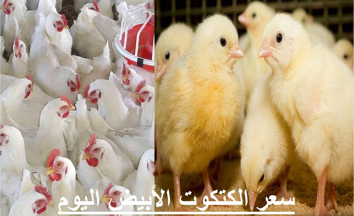 سعر الكتكوت الأبيض اليوم 2 مارس في بورصة الدواجن وأسعار الفراخ اليوم