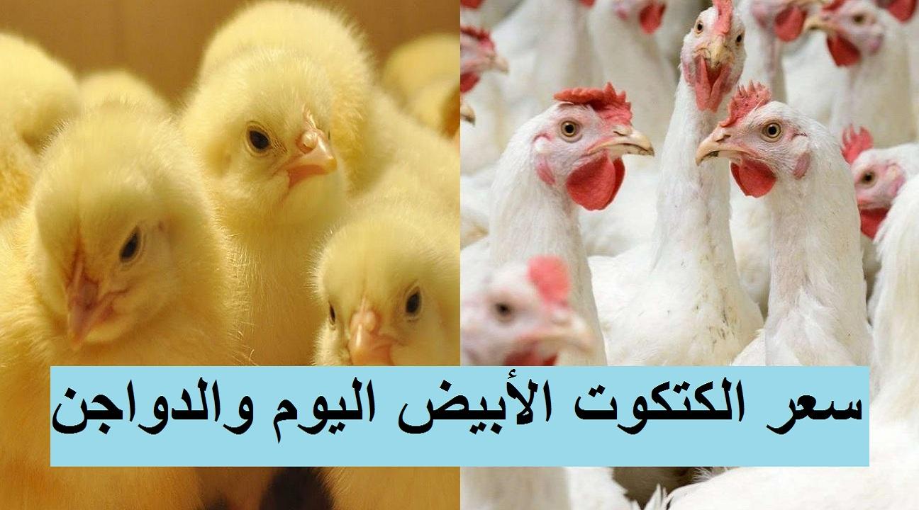 بورصة الدواجن.. تغيرات في سعر الكتكوت الأبيض اليوم وسعر الفراخ البيضاء اليوم والساسو