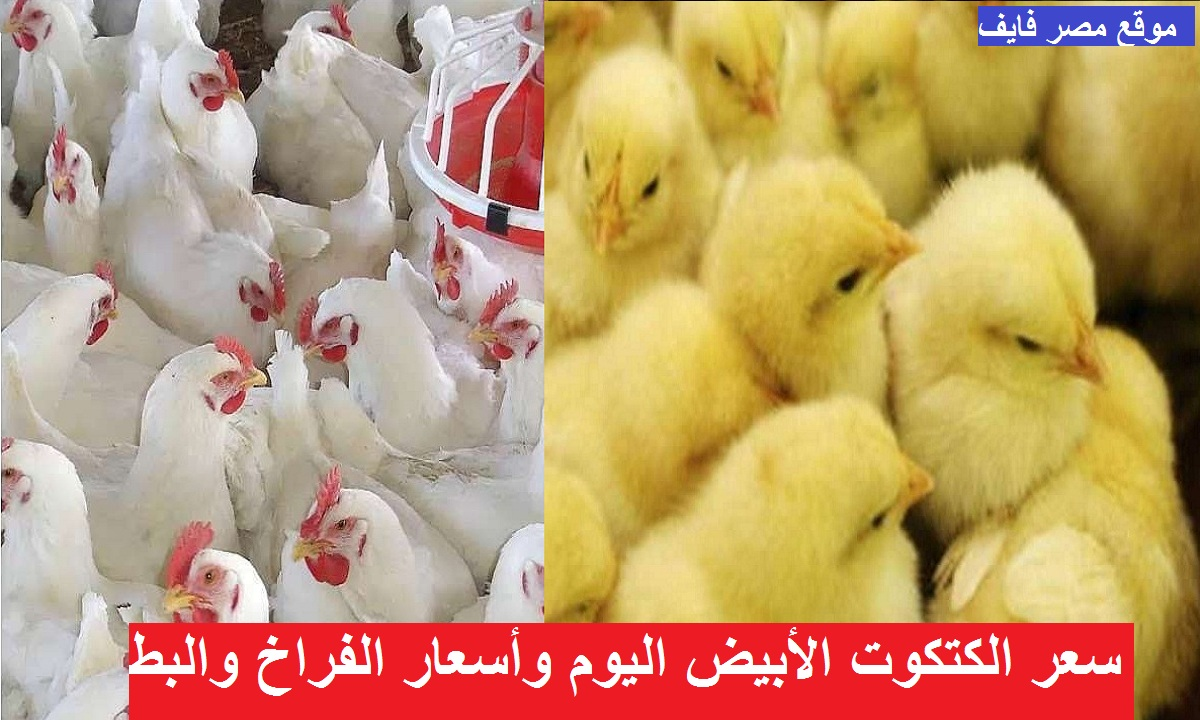 بورصة الدواجن اليوم.. ارتفاع مفاجئ في سعر الكتكوت الأبيض الأربعاء 12 مايو بعد زيادة سعر الفراخ البيضاء