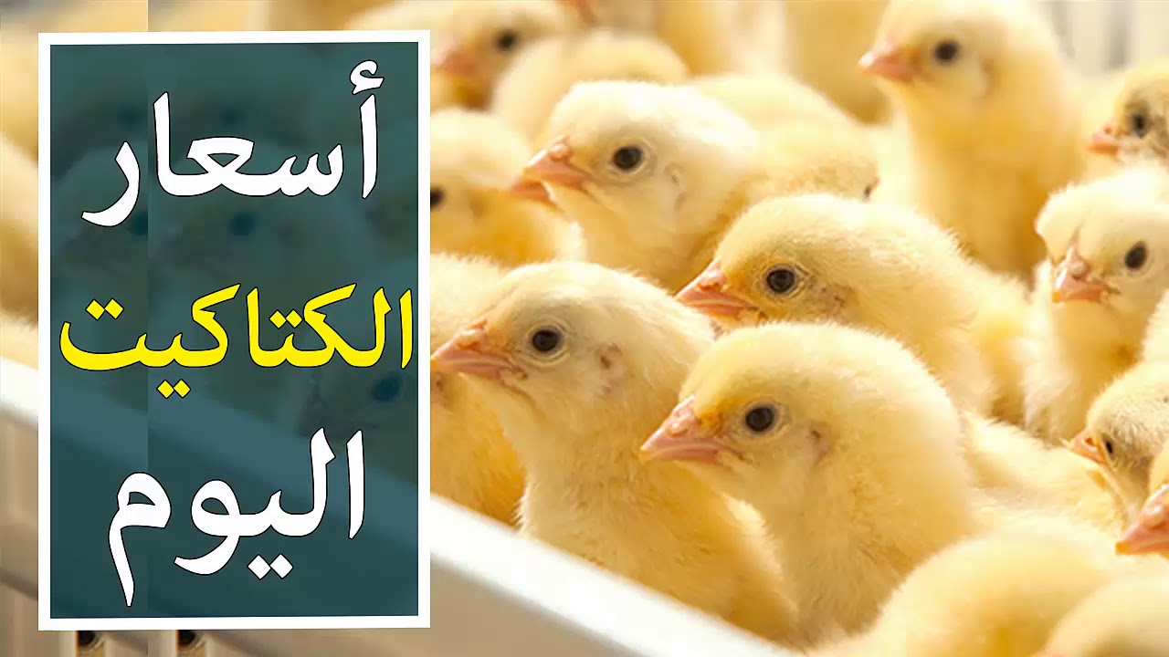 The price of white chick today, Friday, February 12th, and the prices of white poultry, baladi and sasso 3
