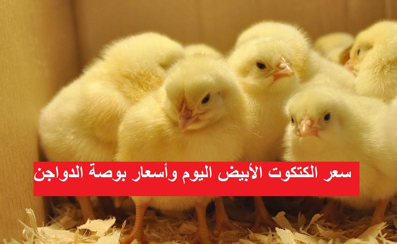 بورصة الدواجن اليوم.. ارتفاع مفاجئ في سعر الكتكوت الأبيض الأربعاء 12 مايو بعد زيادة سعر الفراخ البيضاء 20