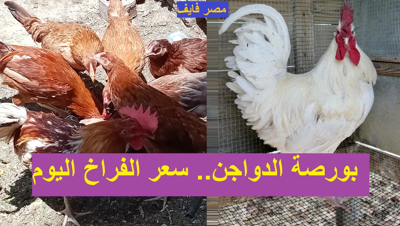 سعر الكتكوت الأبيض اليوم 2 مارس في بورصة الدواجن وأسعار الفراخ اليوم 5