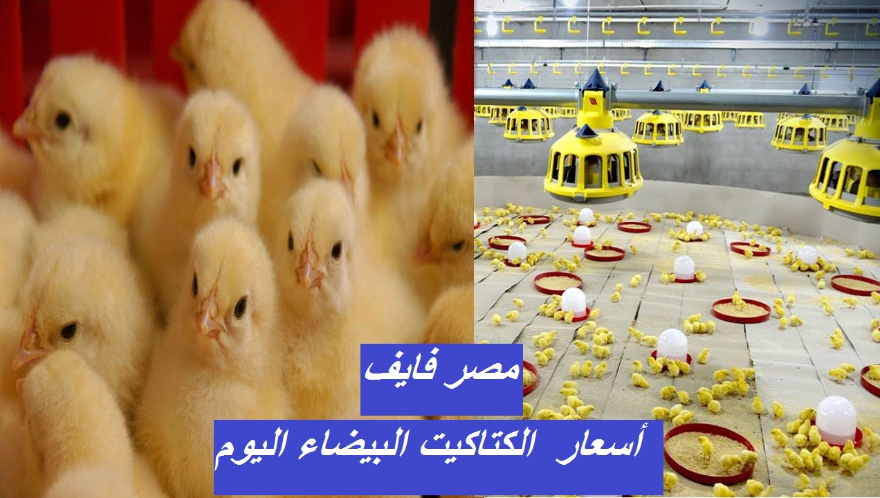 The price of the white chick today, Friday, February 12, and the prices of white poultry, baladi and sasso 4