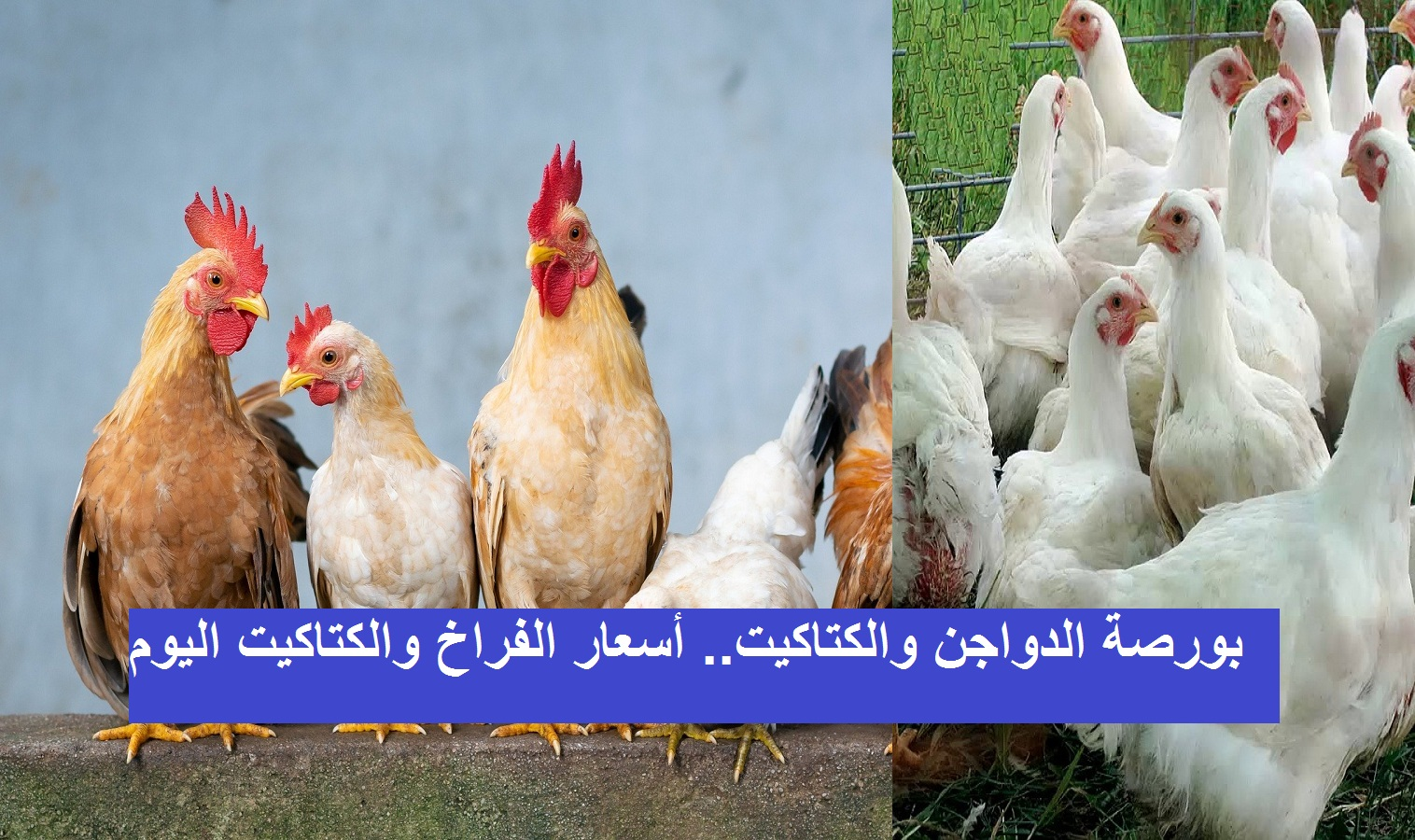 بورصة الدواجن والكتاكيت.. سعر الفراخ اليوم الثلاثاء 2 مارس 2021