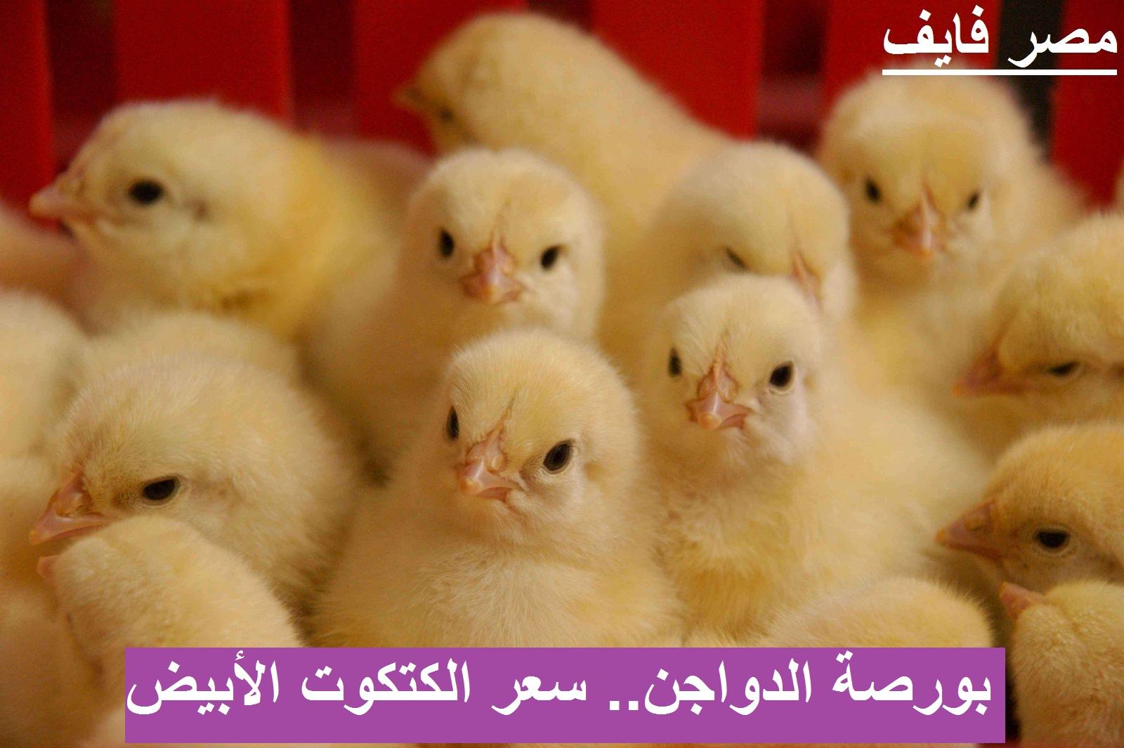 سعر الكتكوت الأبيض اليوم الجمعة 12 مارس 2021 بعد تراجع أسعار الفراخ اليوم
