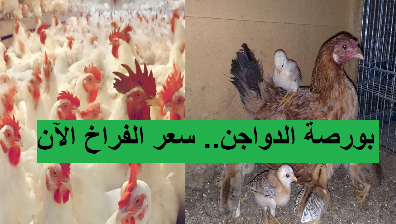 بورصة الدواجن الآن.. سعر الفراخ اليوم الجمعة 9 أبريل 2021 بعد زيادتها وانخفاض سعر الكتكوت الأبيض