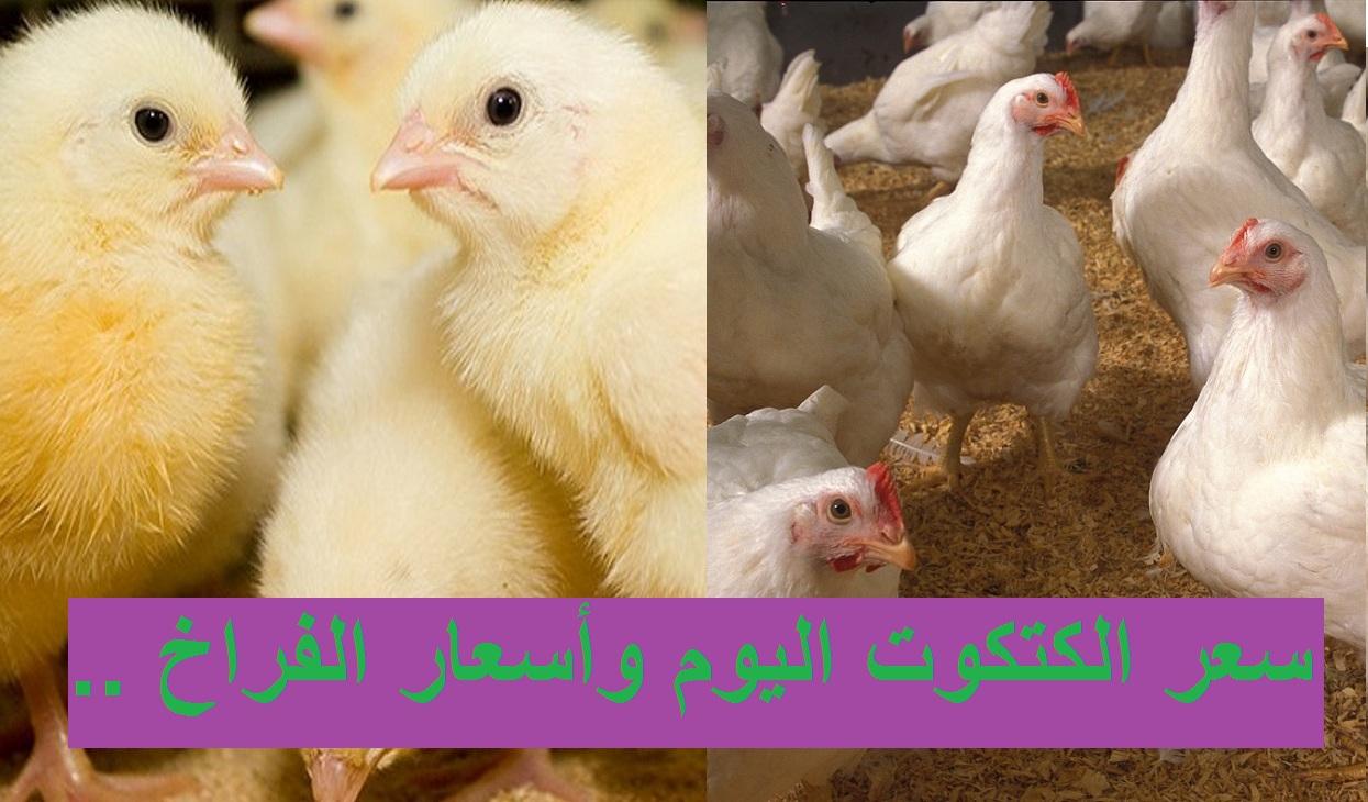 سعر الكتكوت اليوم 25 مارس 2021 في بورصة الدواجن وسعر الفراخ البيضاء والساسو اليوم