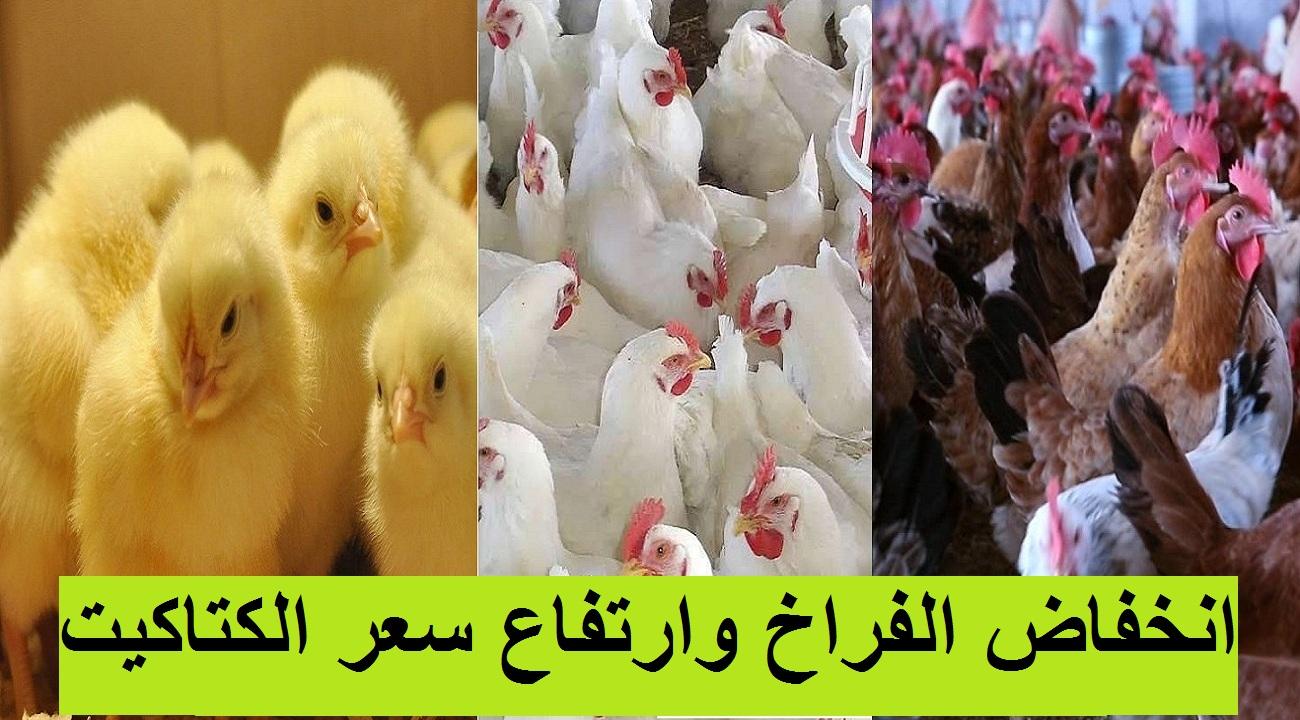 بورصة الدواجن.. انخفاض سعر الفراخ اليوم السبت و3 جنيه زيادة في سعر الكتكوت الأبيض