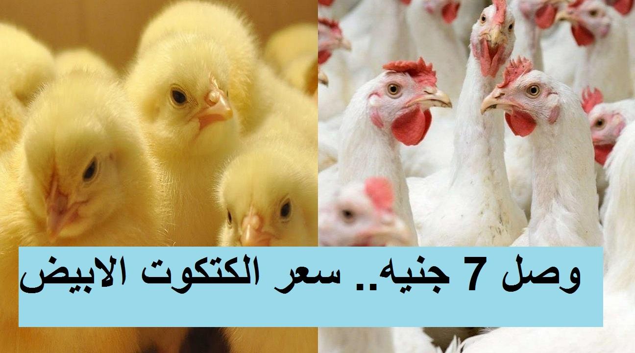 بورصة الدواجن والكتاكيت.. سعر الكتكوت الابيض اليوم الأحد 28 مارس وزيادة سعر الفراخ البيضاء اليوم