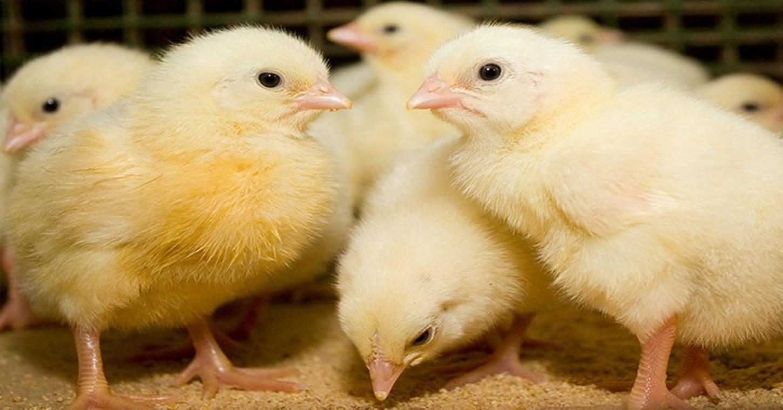 بورصة الدواجن.. سعر الكتكوت الأبيض اليوم الإثنين 19 أبريل وسعر الفراخ وكتاكيت البط الآن 3