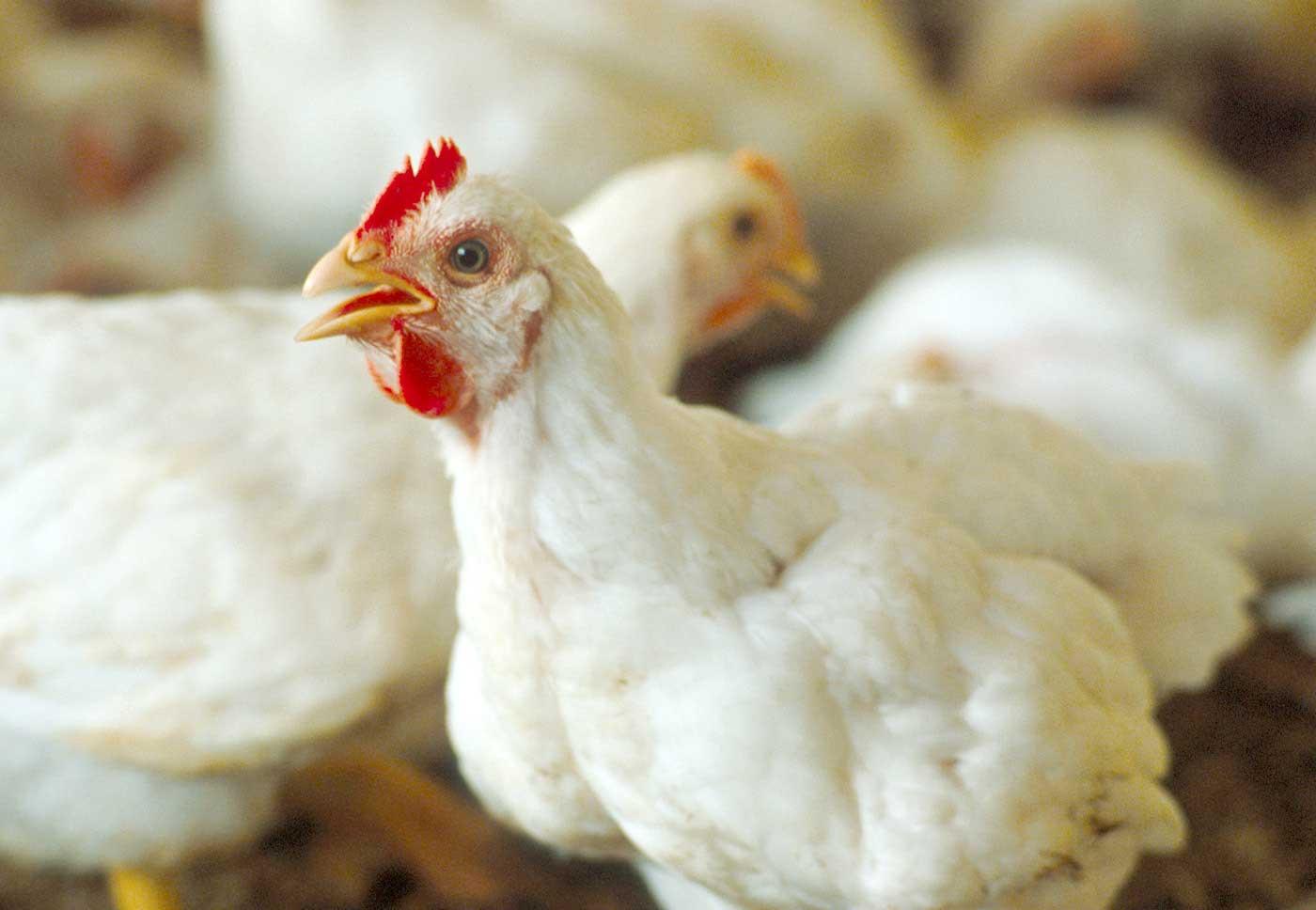 بورصة الدواجن.. سعر الكتكوت الأبيض اليوم الإثنين 19 أبريل وسعر الفراخ وكتاكيت البط الآن 6