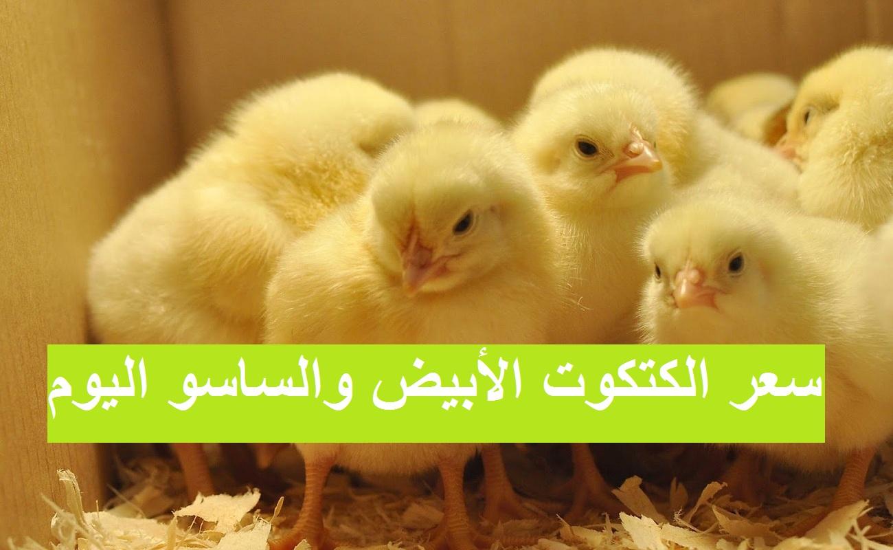 ارتفاع سعر الكتكوت الأبيض اليوم الجمعة 12 مارس وتغيرات بسعر الفراخ البيضاء والساسو