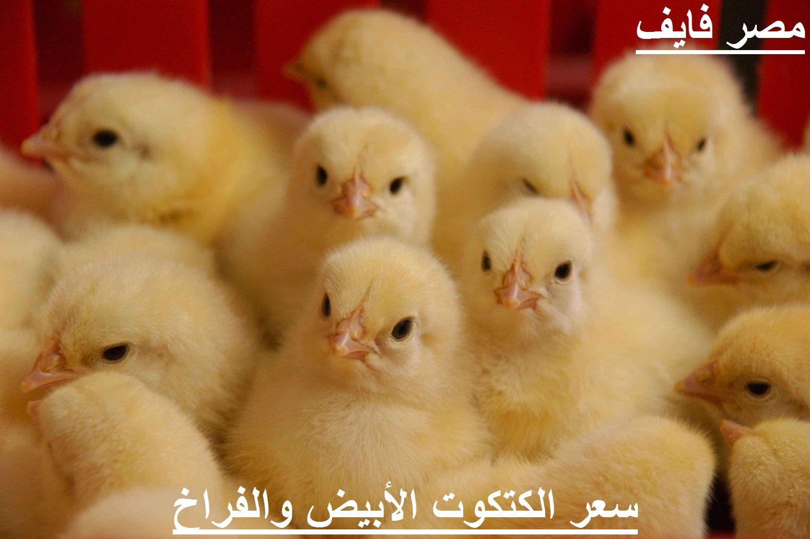 بورصة الدواجن اليوم.. ارتفاع مفاجئ في سعر الكتكوت الأبيض الأربعاء 12 مايو بعد زيادة سعر الفراخ البيضاء 4
