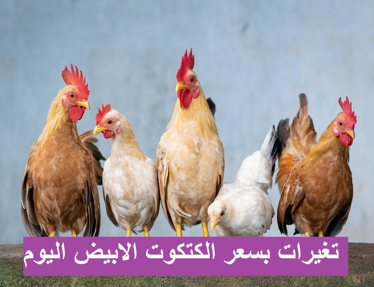 أسعار الكتاكيت.. سعر الكتكوت الابيض اليوم الإثنين 12 أبريل 2021 وسعر الفراخ البيضاء اليوم