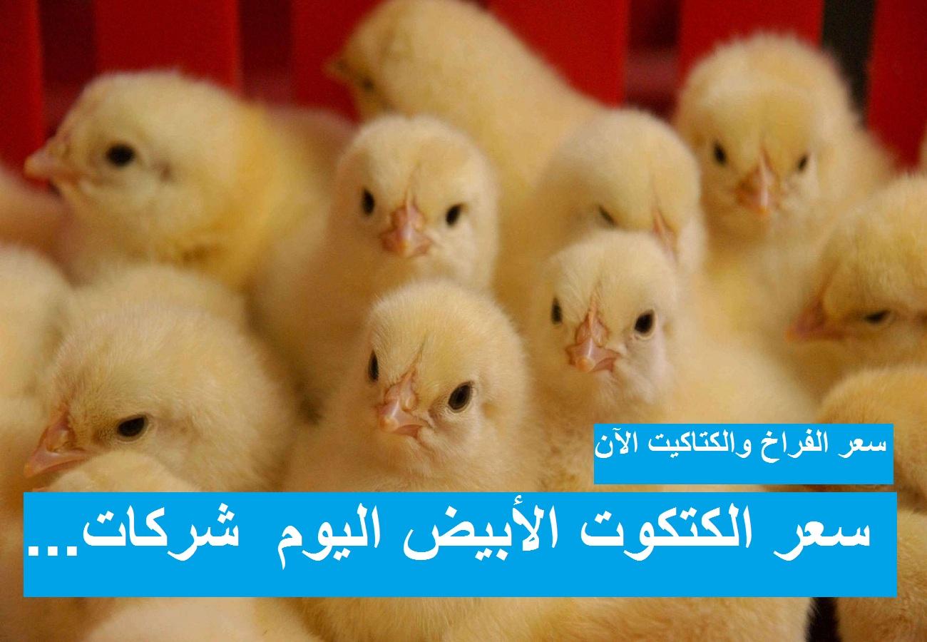 أسعار الكتاكيت السبت.. سعر الكتكوت الابيض اليوم 10 أبريل 2021 بعد القفزة الأخيرة في سعر الفراخ البيضاء