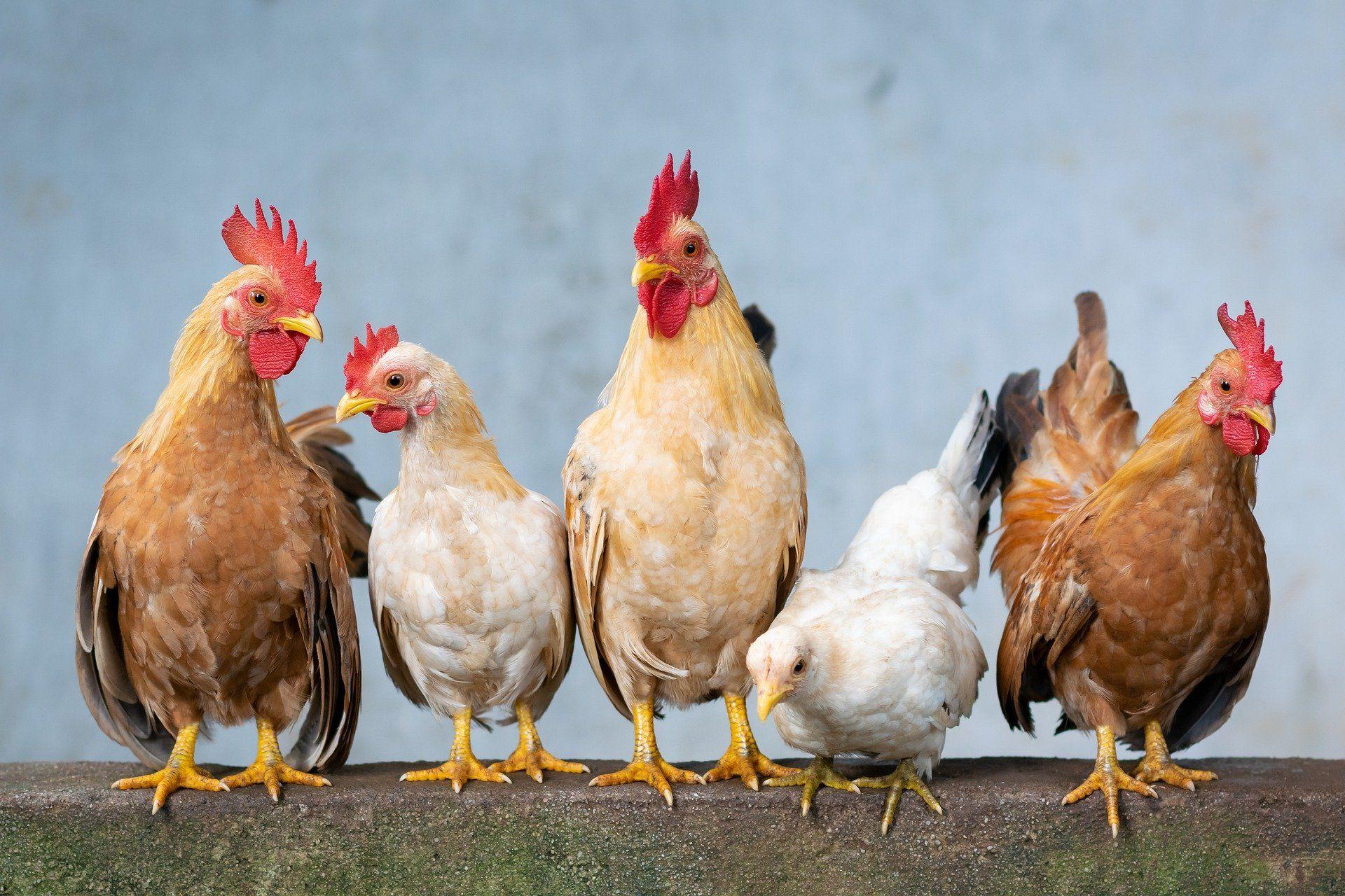 بورصة الدواجن.. سعر الكتكوت الأبيض اليوم الإثنين 19 أبريل وسعر الفراخ وكتاكيت البط الآن 4
