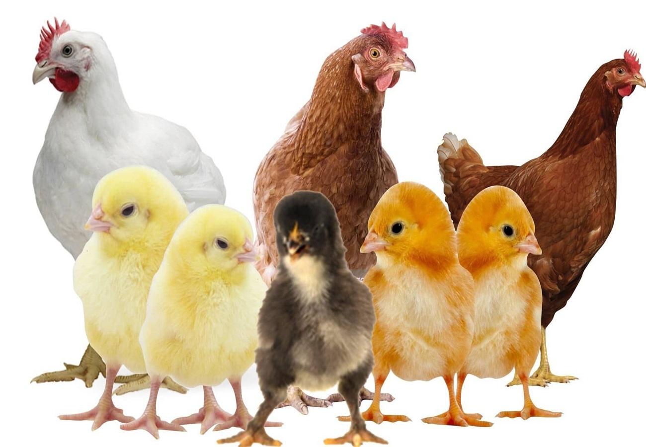 El precio de los pollitos blancos hoy, jueves 10 de junio de 2021, y los precios de las existencias de aves de corral 3