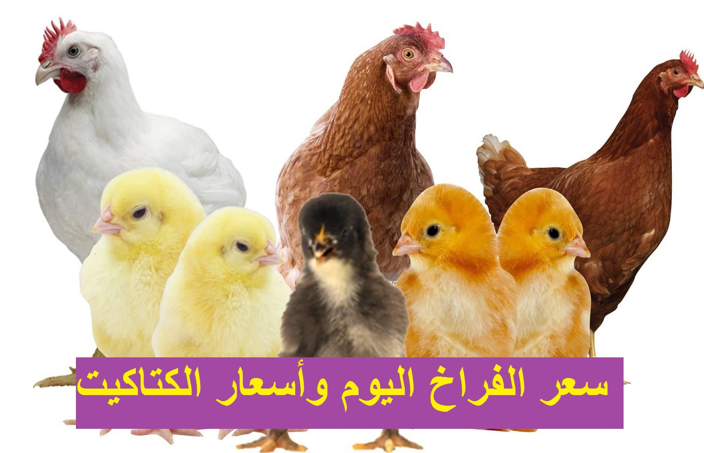 سعر الفراخ البيضاء اليوم السبت 23 أكتوبر وأسعار الفراخ الساسو والكتكوت الأبيض 11