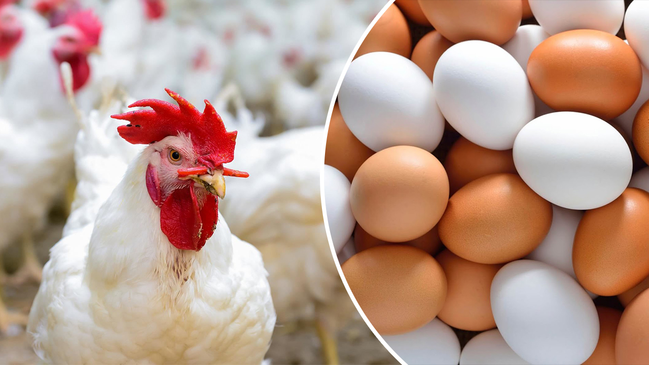 بورصة الدواجن اليوم الأربعاء 11 أغسطس تعرف علي أسعار الفراخ البيضا والكتاكيت والبيض