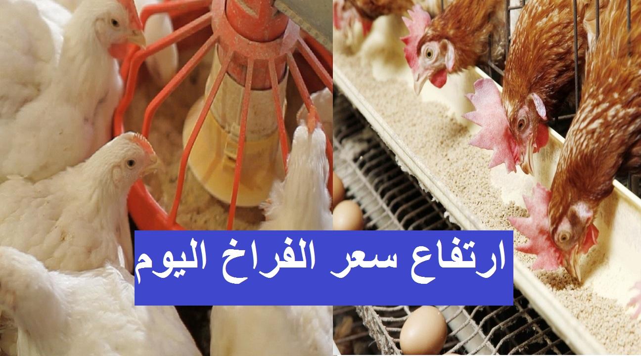 سعر بورصة الدواجن اليوم الخميس 16 سبتمبر وسعر الفراخ والكتكوت الأبيض 8